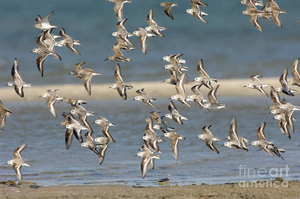Dunlin Photograph - Sanderlings And Dunlins In Flight by Anthony Mercieca