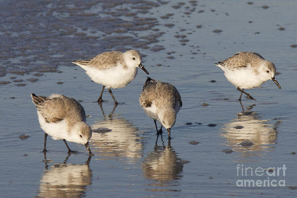Photograph - Sanderlings Birds by Chris Scroggins