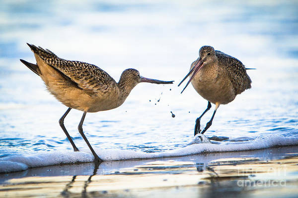 Photograph - Sanderlings Playing At The Beach by John Wadleigh
