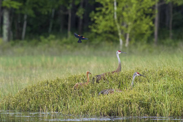 Wall Art - Photograph - Sandhill Crane Attacked By Red-winged by Linda Arndt