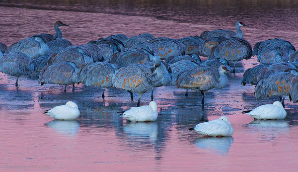 Photograph - Sandhill Crane by Britt Runyon