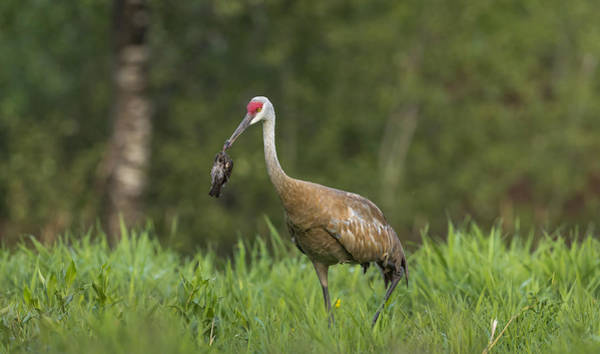 Wall Art - Photograph - Sandhill Crane Carrying Red-winged by Linda Arndt