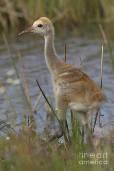 Photograph - Sandhill Crane Chick by Meg Rousher