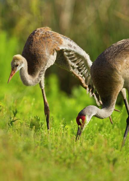 Sandhill Cranes Photograph - Sandhill Crane Chick Stretching by Maresa Pryor