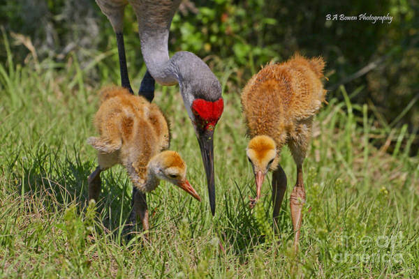 Photograph - Sandhill Crane Family Feeding by Barbara Bowen