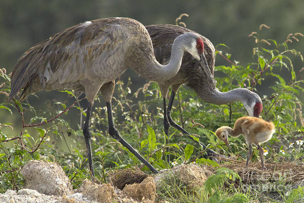 Photograph - Sandhill Crane Family by Meg Rousher