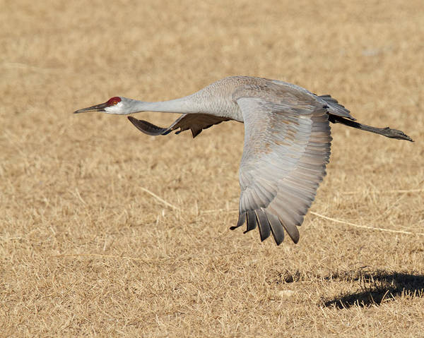 Photograph - Sandhill Crane In Flight by Steve Kaye