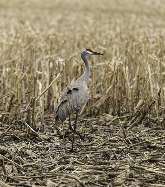 Photograph - Sandhill Crane In The Corn by Thomas Young