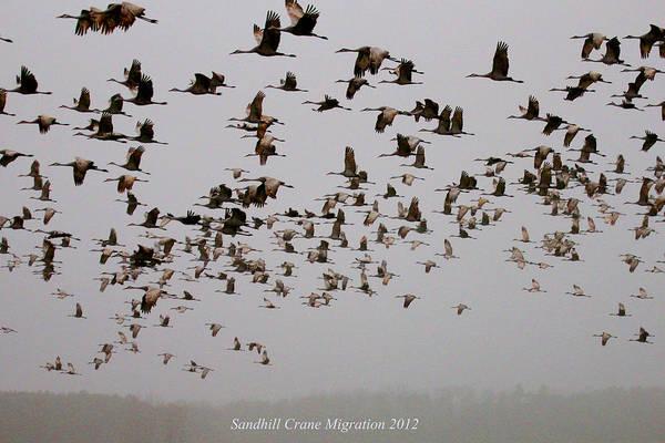 Sandhill Crane Migration Art Print