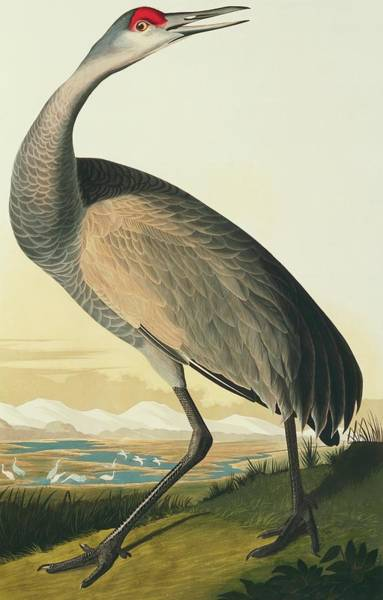 Aquatint Photograph - Sandhill Crane by Natural History Museum, London/science Photo Library