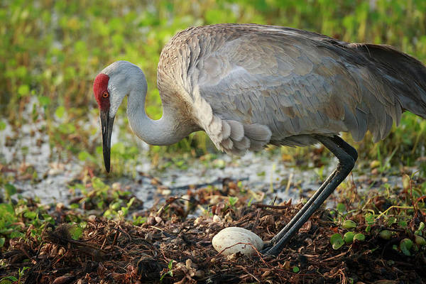 Birds Eggs Photograph - Sandhill Crane Squatting Back On Nest by Maresa Pryor