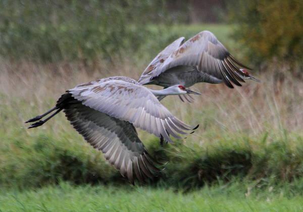 Sandhills Photograph - Sandhill Cranes by Angie Vogel