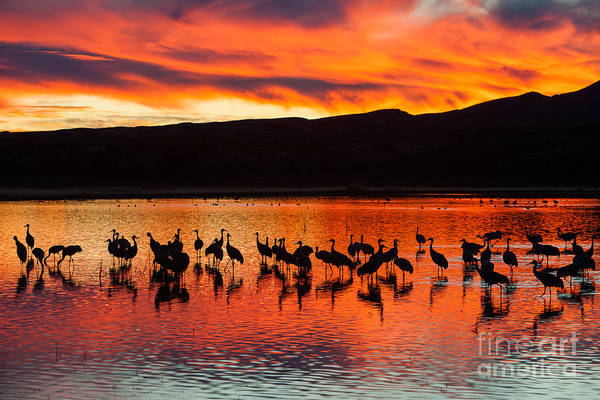 Photograph - Sandhill Cranes At Sunset by Clarence Holmes