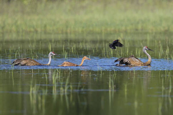 Wall Art - Photograph - Sandhill Cranes Attacked By Red-winged by Linda Arndt