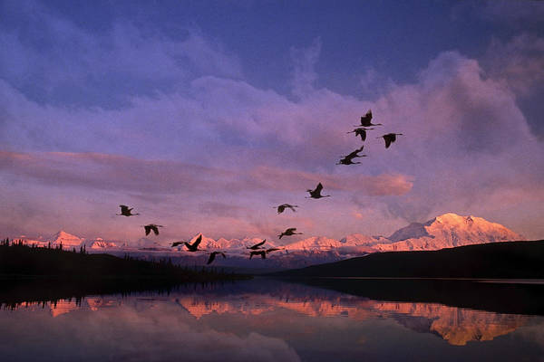 All Together Photograph - Sandhill Cranes Flying Past Mt Mckinley by John Warden