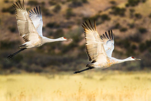 Wall Art - Photograph - Sandhill Cranes In Flight After Sunrise - Bosque Del Apache, New Mexico by Ellie Teramoto