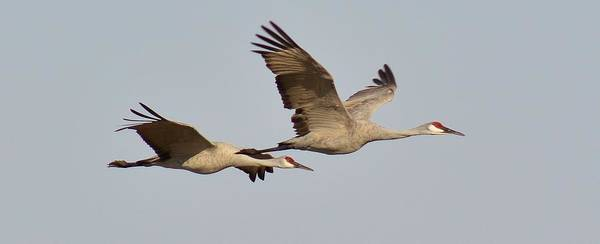 Sonny Bono Wall Art - Photograph - Sandhill Cranes In Flight by Sara Edens