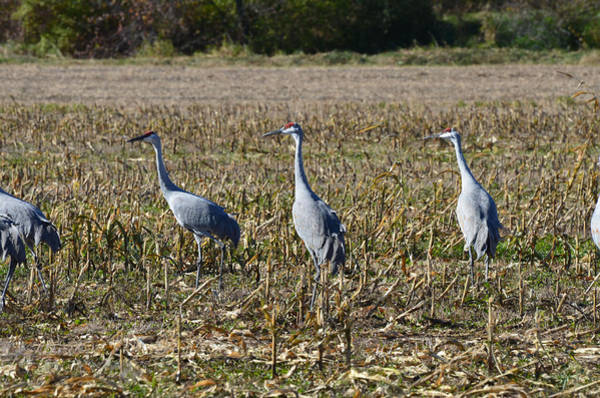 Oct 2013 Photograph - Sandhill Cranes In The Wild Near Poy Sippi by Chris Tennis
