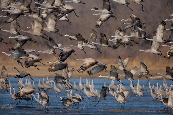 Wall Art - Photograph - Sandhill Cranes On The Platte River by Jim Lo Scalzo
