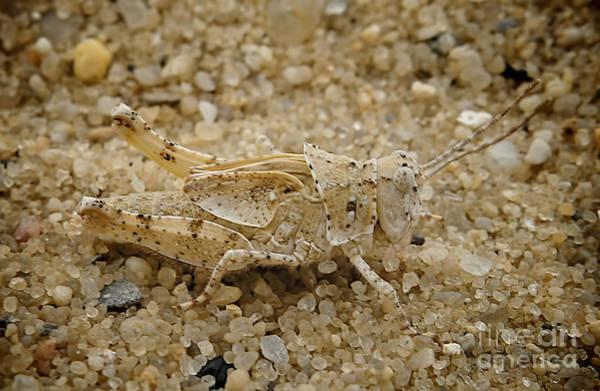 Photograph - Sandhopper by Mark Miller