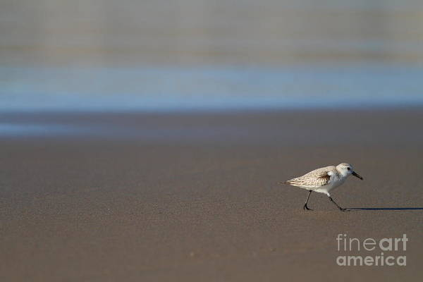 Photograph - Sandpiper At Mcclure Beach Point Reyes California - 5d21353 by Wingsdomain Art and Photography