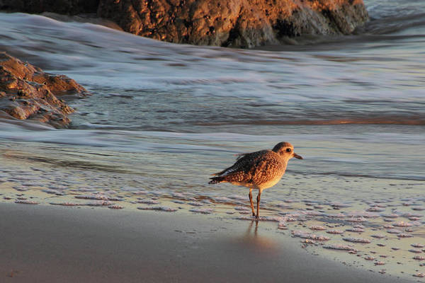 Photograph - Sandpiper At Sunset by Theo OConnor