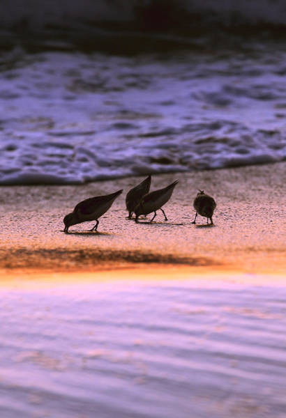 Photograph - Sandpiper Morning by Pete Federico