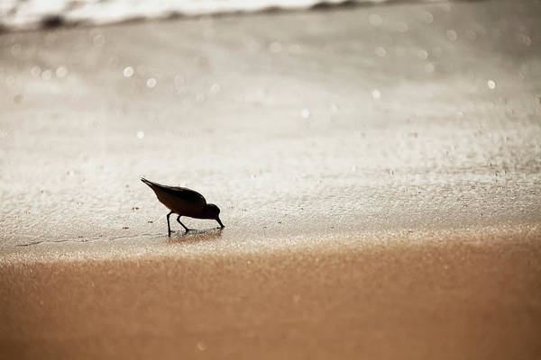 Wall Art - Photograph - Sandpiper  Scolopacidae  Drinking by Ian Ludwig
