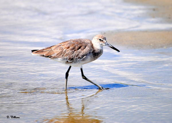 Photograph - Sandpiper Wading On Beach by Dan Williams