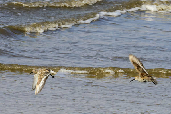 Calidris Alpina Wall Art - Photograph - Sandpipers Flying Down The Beach On Jekyll 2013 by Steve Samples