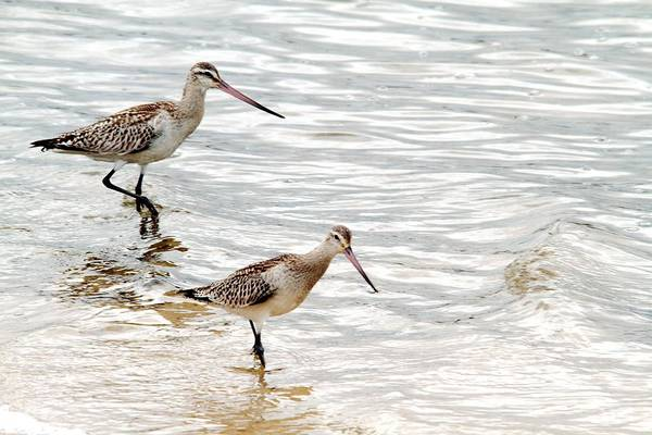 Photograph - Sandpipers Foraging by David Rich