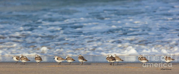 Photograph - Sandpipers Sleeping By The Sea by Michelle Constantine