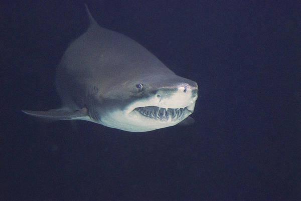 Wall Art - Photograph - Sandtiger Shark Or Sand Shark by Thomas And Pat Leeson