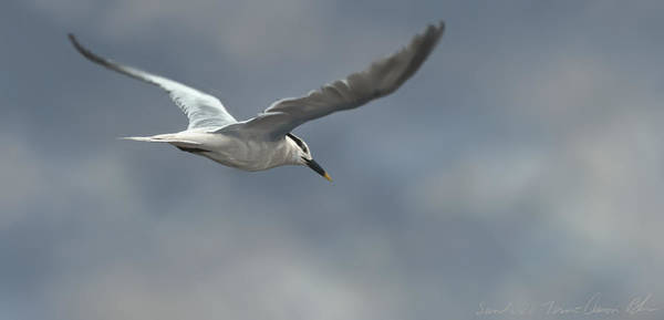 Wall Art - Digital Art - Sandwich Tern by Aaron Blaise