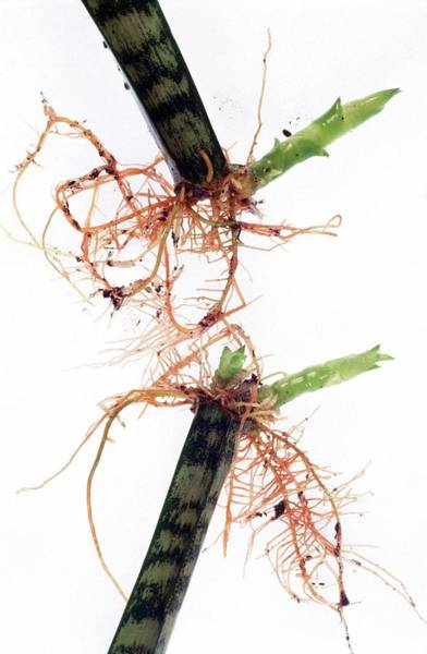 In Law Photograph - Sansevieria Trifasciata Propagation by Brian Bowes/science Photo Library