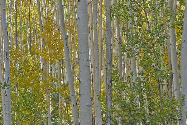 Christine Falls Photograph - Santa Fe Aspens by Christine Hauber