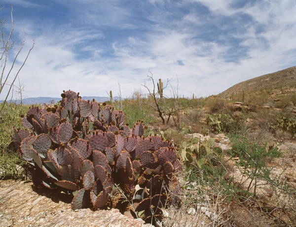 Prickly Pear Photograph - Santa Rita Prickly Pear Cactus by Peter Falkner/science Photo Library