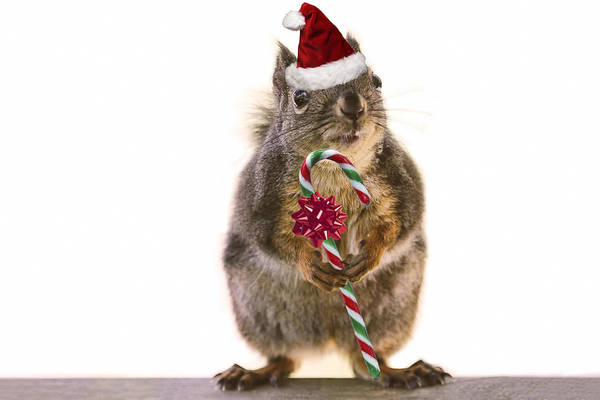 Photograph - Santa Squirrel And Candy Cane by Peggy Collins