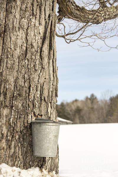 Photograph - Sap Bucket On Maple Tree by Edward Fielding