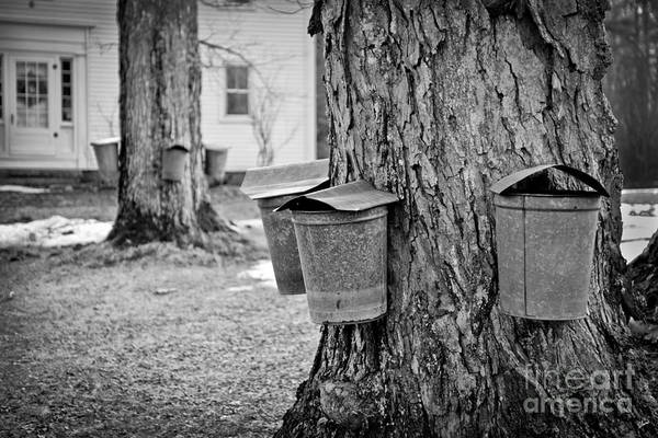 Photograph - Sap Collecting by Alana Ranney