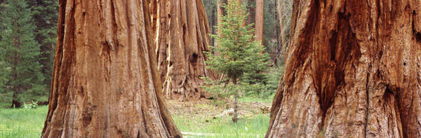 Peacefulness Photograph - Sapling Among Full Grown Sequoias by Panoramic Images