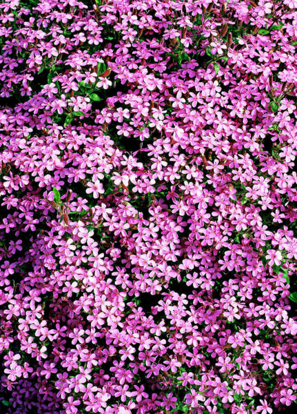 Spreading Wall Art - Photograph - Saponaria Ocymoides by Geoff Kidd/science Photo Library