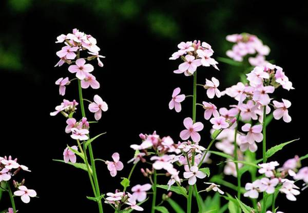 Native Plant Photograph - Saponaria Officinalis by Duncan Shaw/science Photo Library