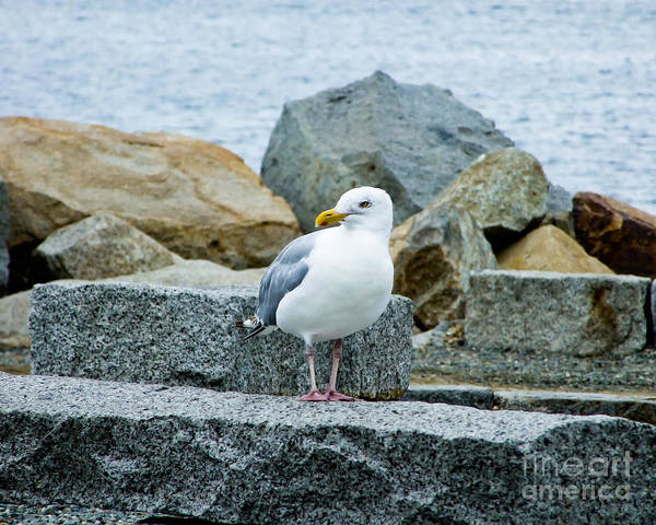 Photograph - Sardonic Seagull by Kristen Fox