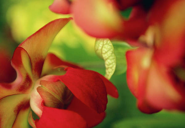 Pitcher Plant Photograph - Sarracenia Oreophila X Leucophylla by Rachel Warne/science Photo Library