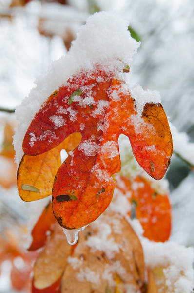 Wall Art - Photograph - Sassafras Leaf With Snow by Kenneth Murray