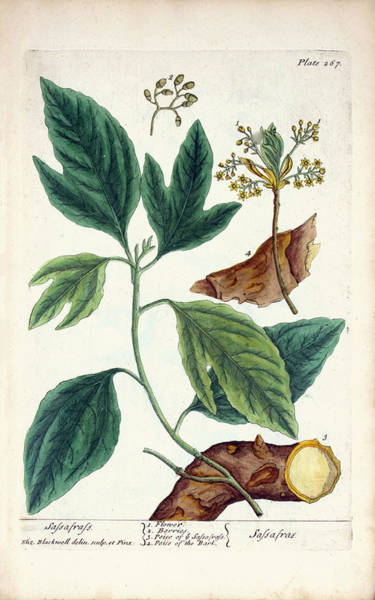 Herbs Photograph - Sassafras Plant by National Library Of Medicine