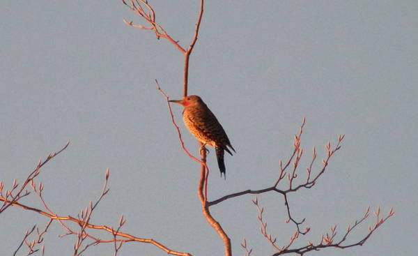 Northern Flicker Photograph - Saturday February 28 2015 by Darrell MacIver