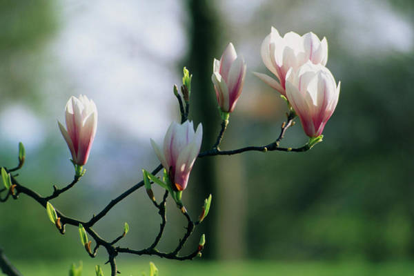 Saucer Magnolia Photograph - Saucer Magnolia Flowers by Terry Mead/science Photo Library