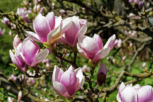 Saucer Magnolia Photograph - Saucer Magnolia (magnolia X Soulangiana) by Dan Sams/science Photo Library